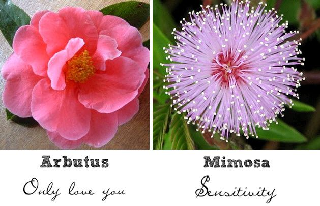 """The pink Arbutus flower represents """"only love you""""; Mimosa flowers symbolize sensitivity"""